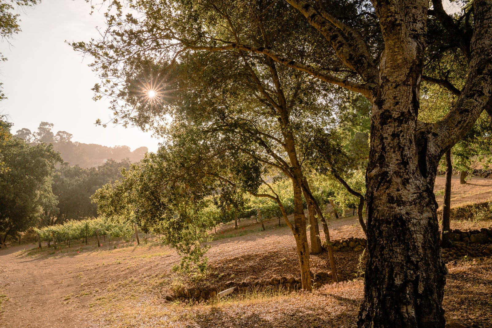 Vineyard and oak trees